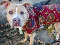 TO BE DESTROYED - SATURDAY - 11/29/14 -Manhattan Center  My name is PYGMY. My Animal ID # is A1020734. I am a male tan and white am pit bull ter mix. The shelter thinks I am about 2 YEARS   I came in the shelter as a STRAY on 11/15/2014 from NY 10459, owner surrender reason stated was STRAY.