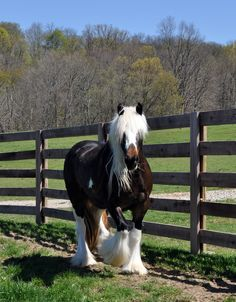 I JUST LOVE HER!!!!!!!   Pumpkin Pie Blizzard | Westmoreland Gypsy Vanner Horses For Sale