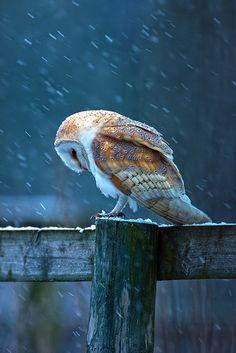 Barn Owl on post   Flickr - Photo Sharing!