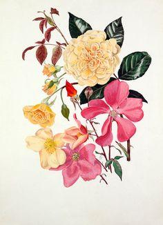 Graham Stuart Thomas -- Rosa 'Buff Beauty', Rosa x odorata 'Mutabilis' -- Rose -- View By Flower -- RHS Prints