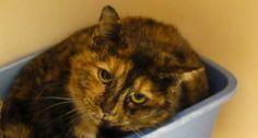 36718 Mama (Petsmart) Tortoiseshell Mix • Adult • Female • Medium The Animal Shelter Society Inc. Zanesville, OH. About 1.5 years old.