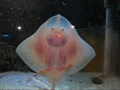 Dancing baby stingray