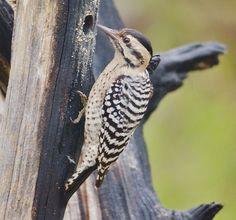 Ladderback Woodpecker (female)
