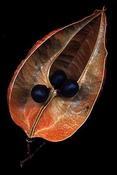 Seedpod- PSchenk.  Golden Rain Tree / Koelreuteria paniculata