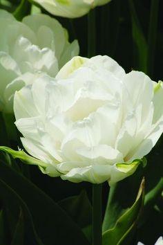 Tulipa - Double Maureen
