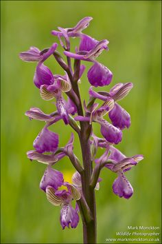 Green-veined Orchid