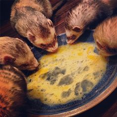 Normal ferret poop. Link to the poop chart. Ferrets rock