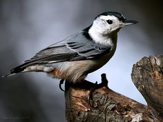 Michigan's White-breasted Nuthatch