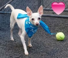 SAFE 4-30-2016 --- SUPER URGENT Manhattan Center NAPOLEAN – A1070990 NEUTERED MALE, WHITE, CHIHUAHUA SH MIX, 11 yrs STRAY – ONHOLDHERE, HOLD FOR ID Reason STRAY Intake condition GERIATRIC Intake Date 04/21/2016 http://nycdogs.urgentpodr.org/napolean-a1070990/