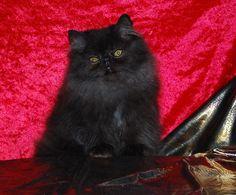 Chats de race - Disponible une très jolie femelle persane noire, 5 mois, vaccinée, rappel dans 1 an, identification par puce électronique, pédigrée....