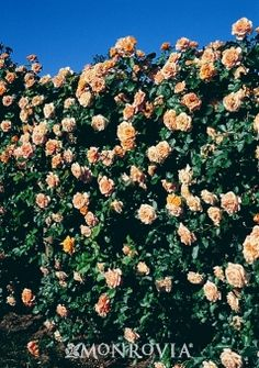 Monrovia's Garden Sun™ Climbing Rose details and information. Learn more about Monrovia plants and best practices for best possible plant performance.