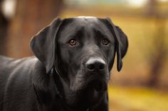 """*Samual*"" ---- [Black Labrador Retriever]~[Photographer S Miller - September 30 2012]'h4d'121203"