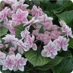 Star gazer lacecap hydrangea...I want one of these!