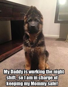 12821455_970273823049704_1699676351605129206_n.jpg (467×602) #germanshepherd