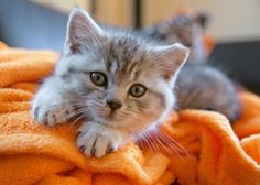 In This site you can search all pets breed information,cute cats,cute dogs ,cute puppies and kittens picture etc. Cute Kittens, Cute Cats And Dogs, I Love Cats, Cats And Kittens, Kitty Cats, Benadryl For Cats, Cat Diseases, Grey Kitten, Gatos Cats