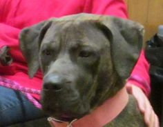 "PRETTY MASTIFF MIX ""PENNY"" (very sweet girl..was found in CANTON, OHIO.)..NOW ADOPTABLE! Picked up as a stray on 2/11.  Available on 2/15.   $ 86.00 fee includes license, 4 way shot, Bordetella vaccine, flea treatment if necessary.  Some dogs are also wormed, Heartworm tested.  $50.00 goes to the cost of spay/neuter and rabies. We take..."