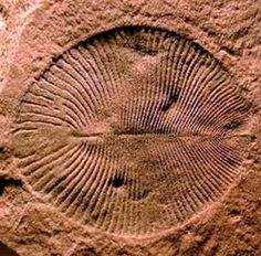 Fossil Ediacaran - These soft-bodied animals appeared 575 million years ago during the Ediacaran geological period. They lived in the ocean and grew some 6.5' (2 m) in length
