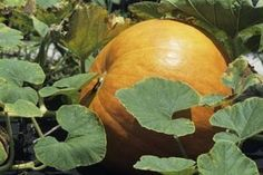 How to Grow Pumpkins in a Container (10 Steps) | eHow
