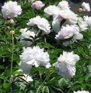 Paeonia 'Shirley Temple' Shade Plants, Perennials, Garden, Temple, Garten, Lawn And Garden, Temples, Gardening, Outdoor