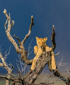 Dust Storm Chillout of a Marsh Pride Lion Cub, Masai Mara, Kenya   by Richard Costin Photography