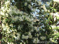 The white-blooming Loropetalum, covered head to toe in March with masses of fringe flowers. Heavy flower production, even in the shade.