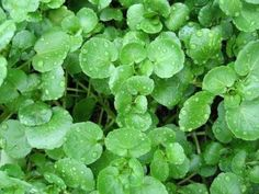""""""" This annual produces bright green glossy leaves with a tangy hot taste. Harvesting at 2 to 5 months, it thrives near a dripping tap, and with the sun baking d"""