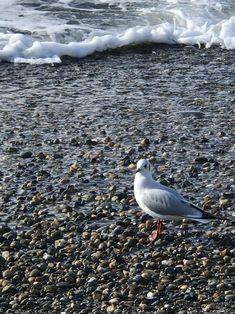 Чайки на море. Чёрное море Сочи