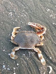 crab ~ love all things beach!