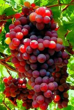 Fresh Fruits And Vegetables, Fruit And Veg, Fruit Trees, Trees To Plant, Vegetable Pictures, Fruit Picture, Fruit Photography, Red Grapes, Fruit Drinks