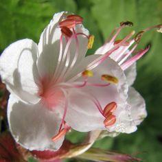 Plantes Vivaces GERANIUM macrorrhizum 'Spessart' - Bec de Grue - Géranium des Balkans  - Pépinière Lepage