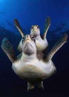 Tortugas Verdes by Joaquin Gutierrez Fernandez Every single species of Sea Turtle is endangered. Reptiles And Amphibians, Mammals, Fauna Marina, Turtle Love, Green Turtle, Wale, Underwater Life, Ocean Creatures, Tier Fotos