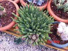 Stapelia var. minima    Asclepiadlardan olan Stapelialar yıldız şeklindeki çiçekleriyle tanınır. S. variegataya çok benzer fakat daha minyatürüdür. Leopar desenli çiçekleri çok beğenilir. Çiçekleri kötü koktuğu için Leş kaktüsü;de denir. Yayılıcı bir türdür. Stapelialar soğuğu sevmez.  Güneşli veya aydınlık yerler ister.  Yazın 5-7 kışın 10-12 günde bir sulanabilir.  Tohumdan ve çelikle üretilir.  Güney Afrika orjinlidir.
