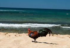 The Wild Chickens of Kauai