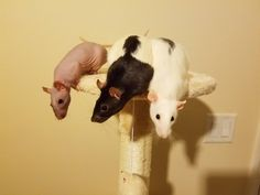 """How do we get down?"" #aww #cute #rat #cuterats #ratsofpinterest #cuddle #fluffy #animals #pets #bestfriend #ittssofluffy #boopthesnoot"