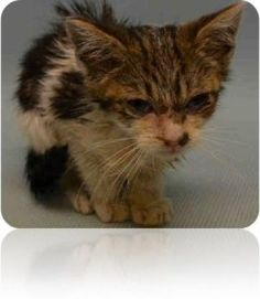 6 WEEK KITTEN, CAL, EATING ON OWN WITH CONJUNCTIVITIS @MACC!!
