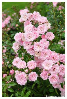 Lovely Pink Wild Roses (Roses like these grow along my parents backyard fence.)