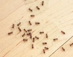 Tiny Ants In Kitchen . Tiny Ants In Kitchen . Natural Ant Killers and Ant Control Tips to Get Rid Of Ants Kitchen Ants, Sugar Ants, Ants In House, Ant Problem, Black Ants, Get Rid Of Ants, Kitchen Pictures, Kitchen Ideas, Cleaning Tips