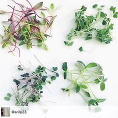 Thanks @chaiadc for dropping by this morning to see our microgreens and sharing these lovely photos. Thank you most of all for supporting local farms! #urbanfarming #microgreens #FarmToTaco #farmtotable #bloomigdaleDC #seeninshaw #edibleDC #dcfoodporn #beginningfarmer #babyveggies #microrainbowchard #microarugula #microkale by littlewildthingsfarmdc