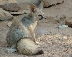 1000 images about foxes on pinterest red fox fennec - Pagina da colorare fennec fox ...