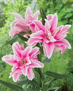 "Lily - ""Belonica""    Light: Sun to part sun  Plant Height:	36-40""  Spacing:	12""  Hardy In:	4-9"