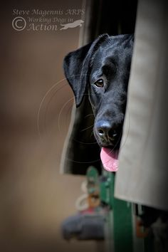 Black Labrador Retriever 'Bella' who I photographed on a private photo shoot...