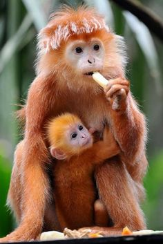 Javan langur, is an Old World monkey from the Colobinae subfamily. Wow lovely monkey his breakfast is a banana. Primates, Mammals, Nature Animals, Animals And Pets, Monkeys Animals, Zoo Animals, Beautiful Creatures, Animals Beautiful, Cute Baby Animals