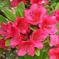 R. (azalea) Evergreen 'Bixby'