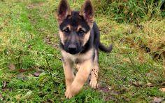 Beautiful German Shepherd Puppies - Top Images
