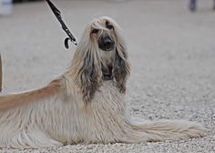 afghan hound Afghan Hound, Fictional Characters, Fantasy Characters