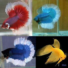 Betta fish they are so beautiful easy to take care of and come in a