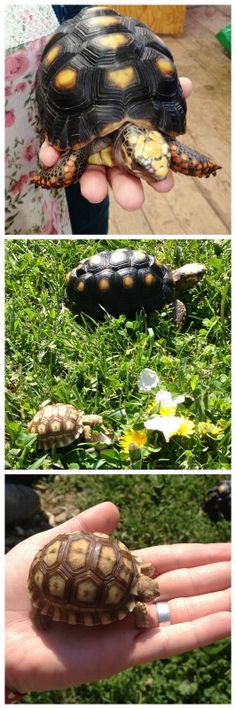 We love when Nina brings her turtles, Megalodone (top) and Spike (bottom). They're going to get so big! #turtles #hayesarboretum