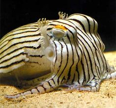 Sepioloidea lineolata- the striped pajama squid
