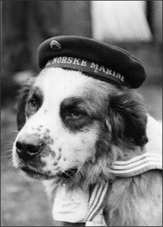 Bamse was a mascot on the Norwegian Navy minesweeper the Thorodd, which was stationed in Montrose and Dundee during World War II. It is claimed the St Bernard saved the lives of two sailors during the war. Military Working Dogs, Military Dogs, War Dogs, Animal Heros, Vintage Dog, Service Dogs, World War Two, Dieselpunk, Mans Best Friend