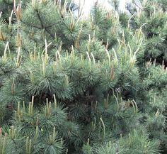Pinus contorta 1